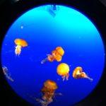 Illuminated Jellyfish, Vancouver Aquarium